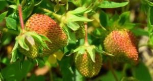 Ripening Strawberries